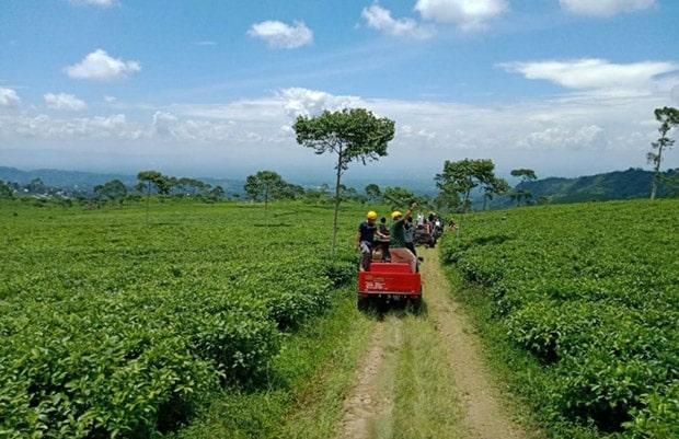 keindahan kebun teh kemuning